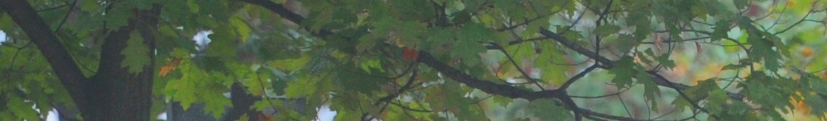 A close up image of leaves on BC3 trees in the fall
